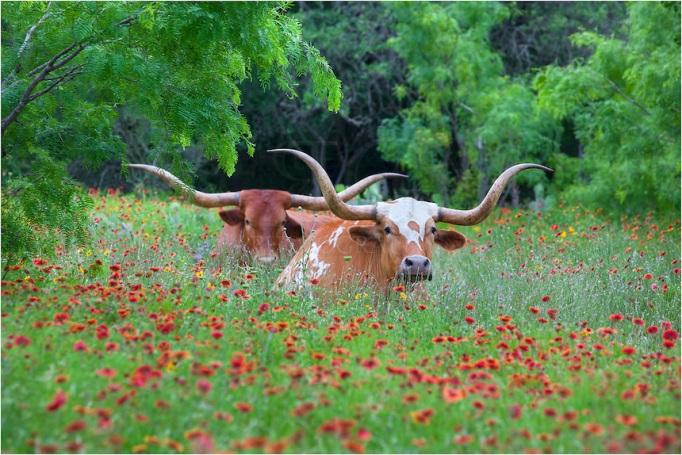 texas-wildflowers-with-a-pair-of-longhorns-1